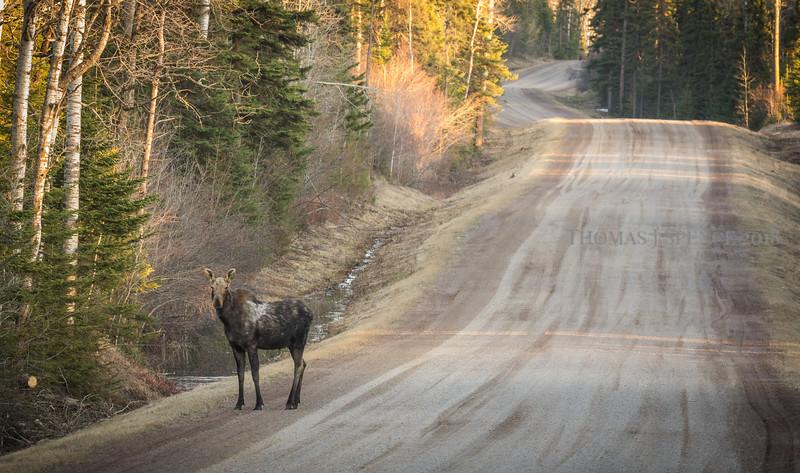 Evening Moose