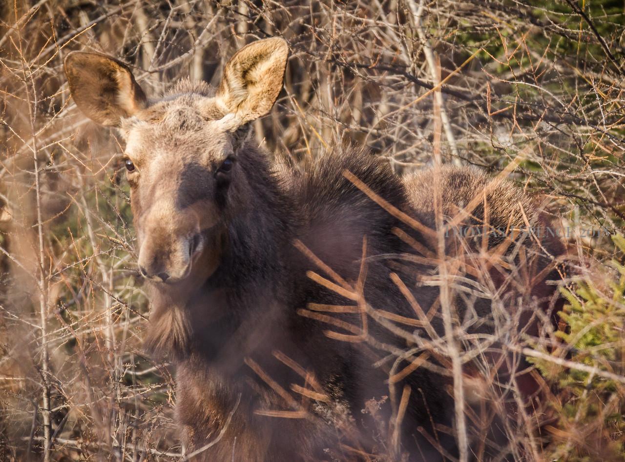 Sprimg Moose