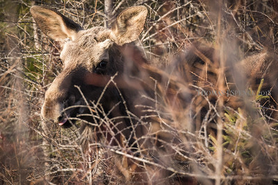 Spring Bull Moose