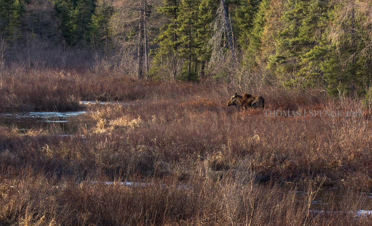 Moose Along Creek.
