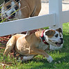 The under-the-fence maneuver is a younger dog's game, I fear.