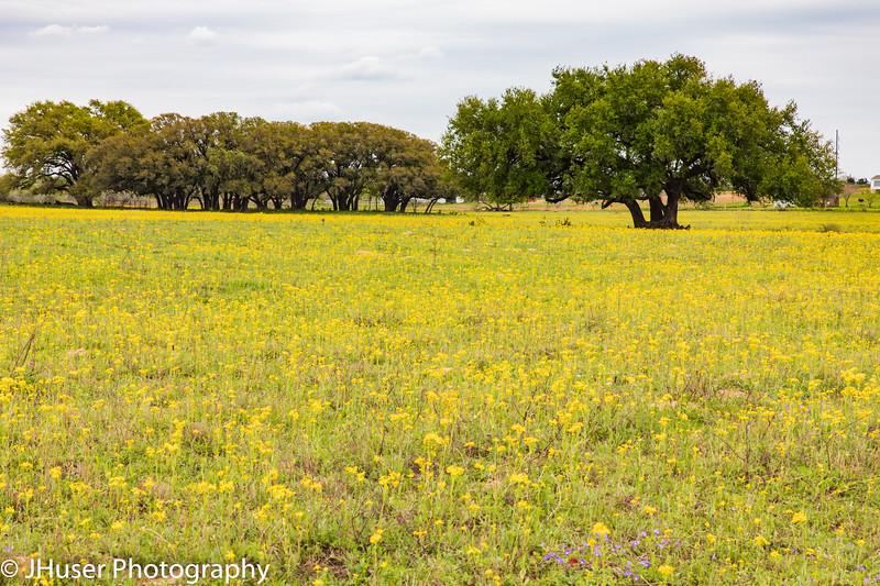 Texas Live Oak trees in a field of yellow wildflowers