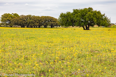 Texas Live Oak trees in a field of yellow wildflowers