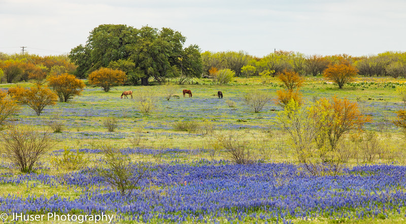 Horses in a field of Bluebonnet wildflowers