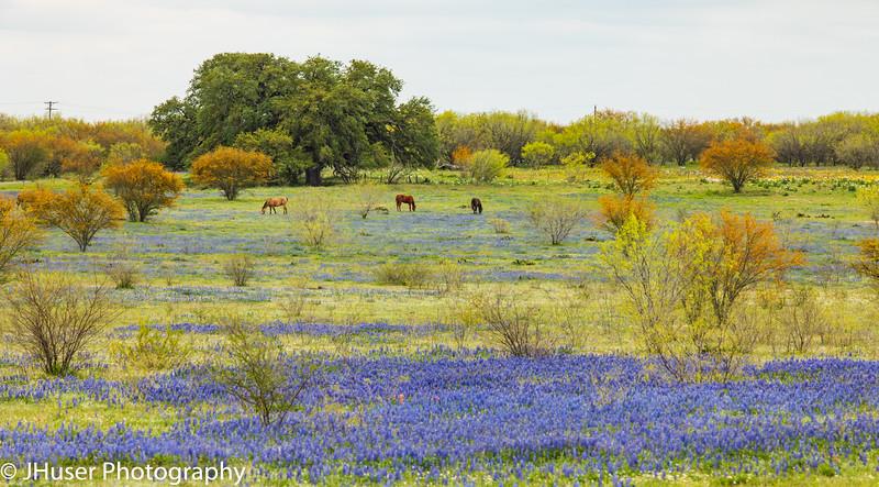 Horses in a field of Bluebonnet wildflowers