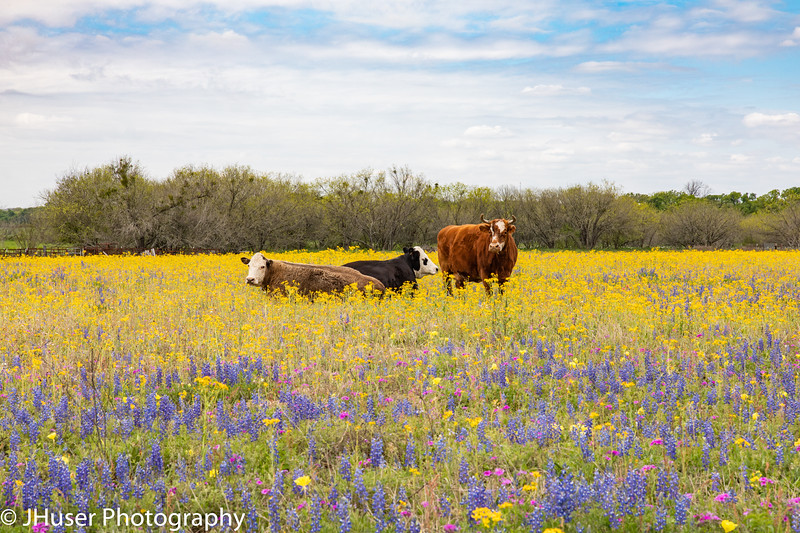Cows relaxing in a field of wildflowers