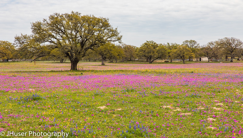 Pink Phlox and Bluebonnets by Live Oak trees