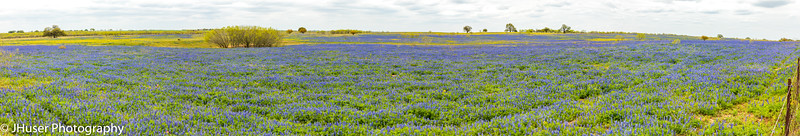 Panorama of a field covered in Bluebonnet wildflowers