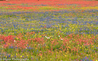 Spring in Texas brings colorful wildflowers