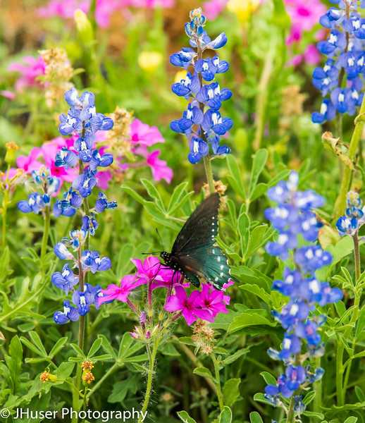 Butterfly on pink Phlox wildflower