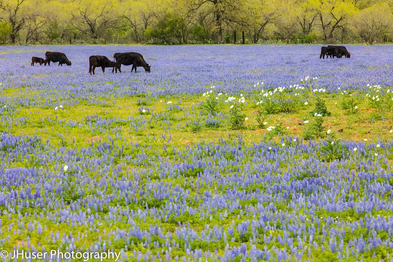 Black cows in a field of Bluebonnet wildflowers