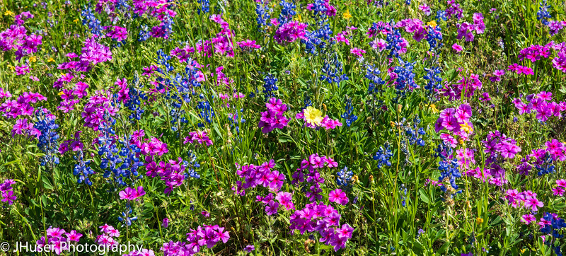 Colorful Wildflowers during Spring in Texas