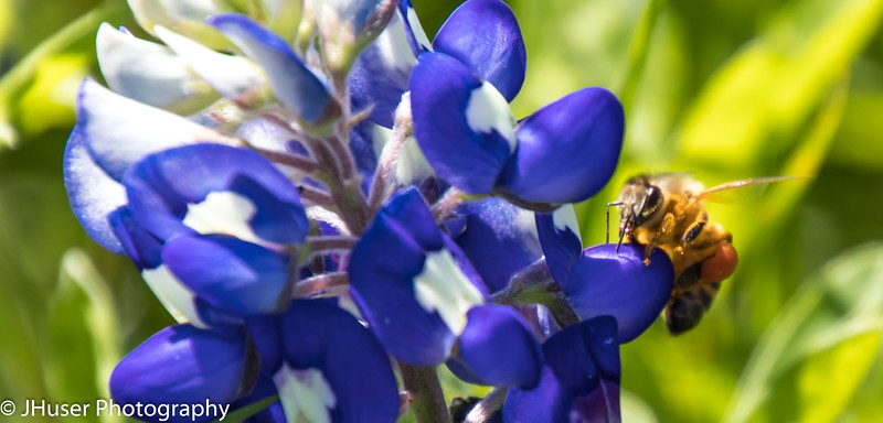 Pollen covered bee on Bluebonnet wildflower