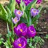 Spring bulbs in Barnby Dun