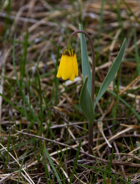 Yellow Fritillary AKA Yellowbell