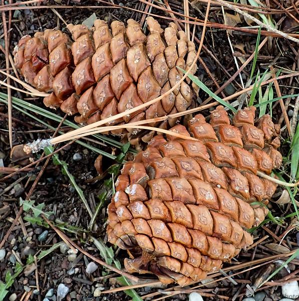 Ponderose pine cones and needles