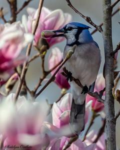 Blue jay Swiping the Magnolias