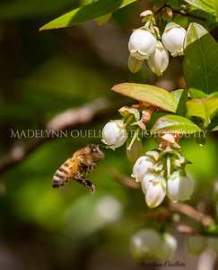 Honey Bee buzzing around the Blossoms