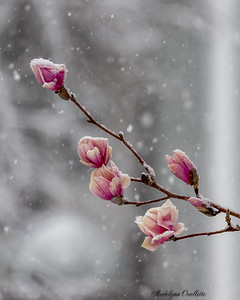Magnolia Buds in Snow 1