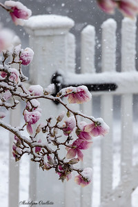Blossoms Bending in the Snow