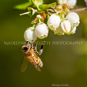 Honey Bee and Blueberry Blossoms