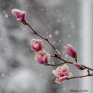 Magnolia Buds in Snow 2