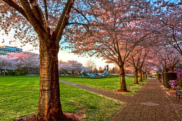 Cherry Blossoms and Sprague Fountain