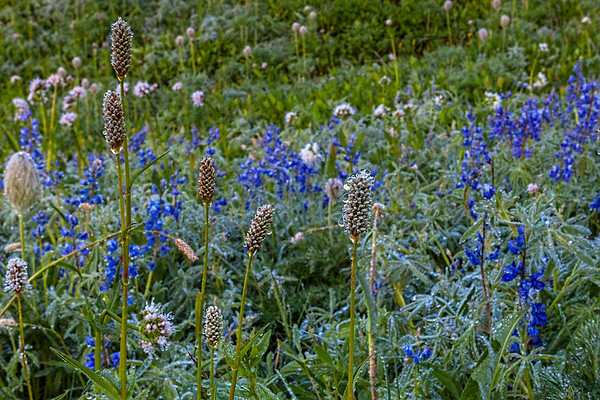 Dew Covered Wildflowers at Paradise