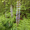 Colorful Fresh Lupine Blooms