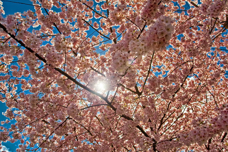 Capitol Mall Cherry Blossoms