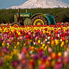 The Famous John Deere Tractor at Wooden Shoe Tulip Fields