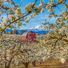 Springtime Blossoms, The Red Barn and Mt Hood