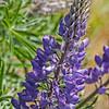 Fresh Spring Lupine