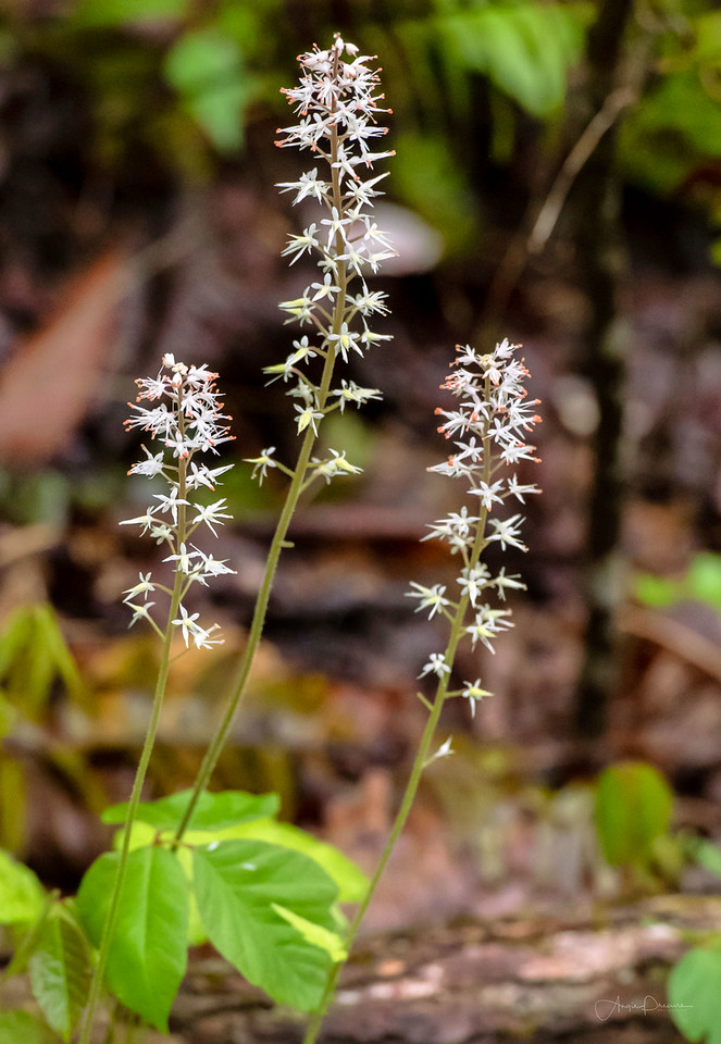 Foamflowers #20