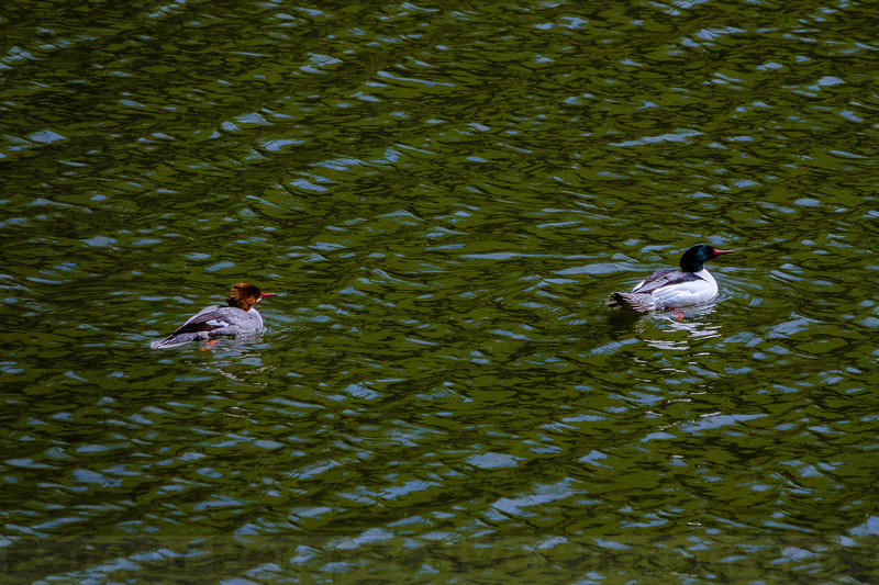 Common Mergansers on Alpine Lake