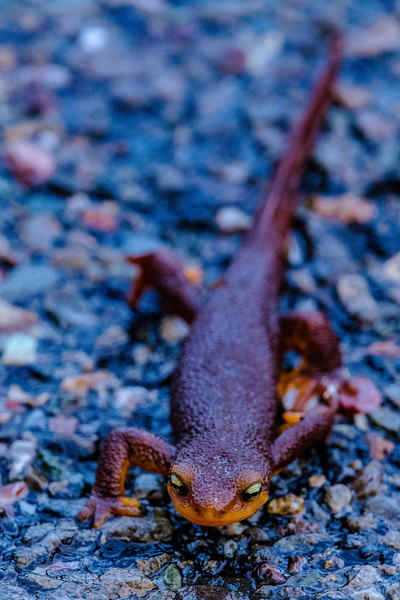 Newt Crossing the Road