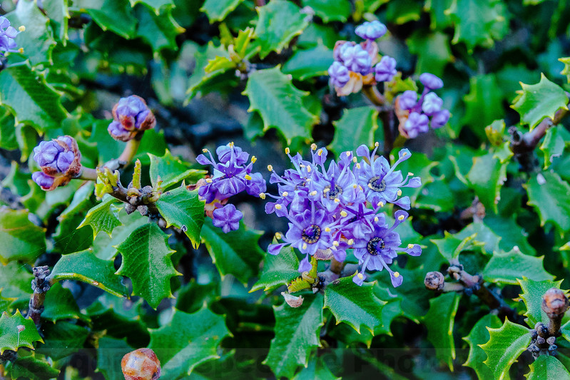 Jepson Ceanothus blooming along Pine Mountain Road