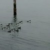 Lots of ducks on Beautiful Whidby Island, Coupeville