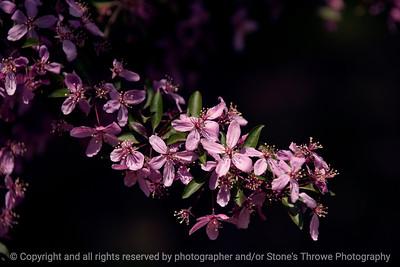 015-tree_flower-wdsm-18may13-0419