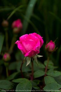 015-flower_rose-wdsm-24may17-12x18-004-9306