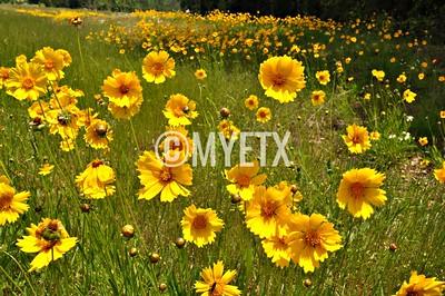 Happy Coreopsis