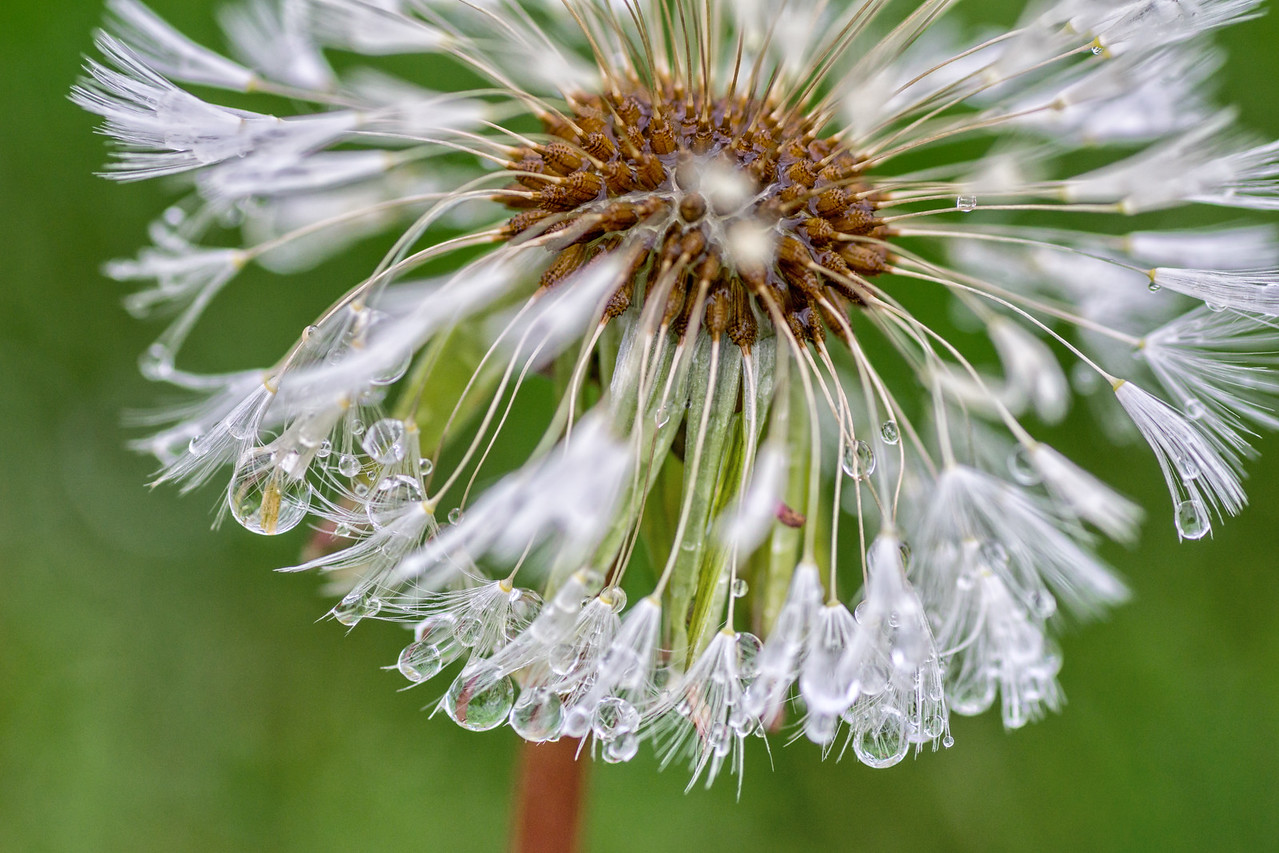 Dandelion after the Spring Rain