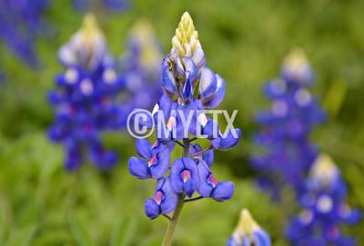 Grasshopper Bluebonnet