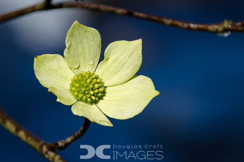 Dogwood after the Snow