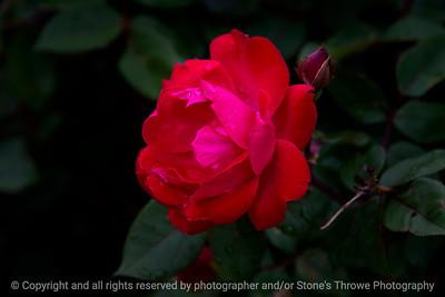 015-flower_rose-wdsm-24may17-18x12-003-9279
