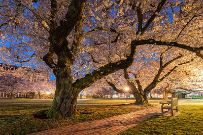 University of Washington Cherry Blossoms Twilight