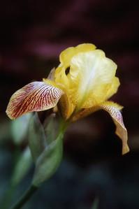 irises, phlox, etc (79)-1
