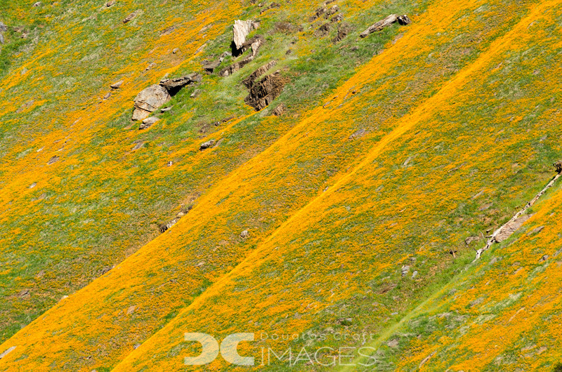 Waves of Poppies