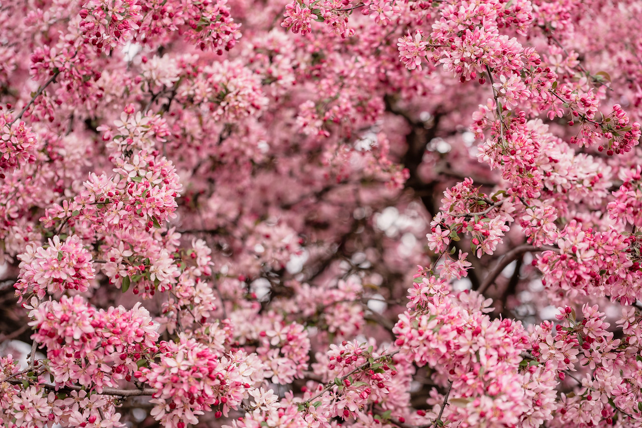 Explosion of Pink - May 2018