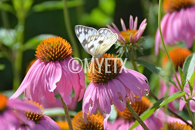 Pink Cone Flowers & Butterfly